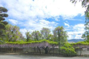 藤山神社の藤棚(長崎県佐世保市)